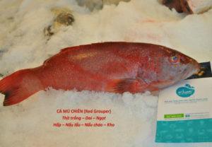 cá mú đỏ phan rang
